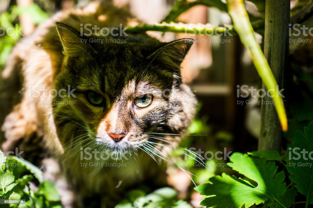 Closeup of calico maine coon cat lying in bed of catnip greens plant in outdoor home garden coming out of shadow stock photo