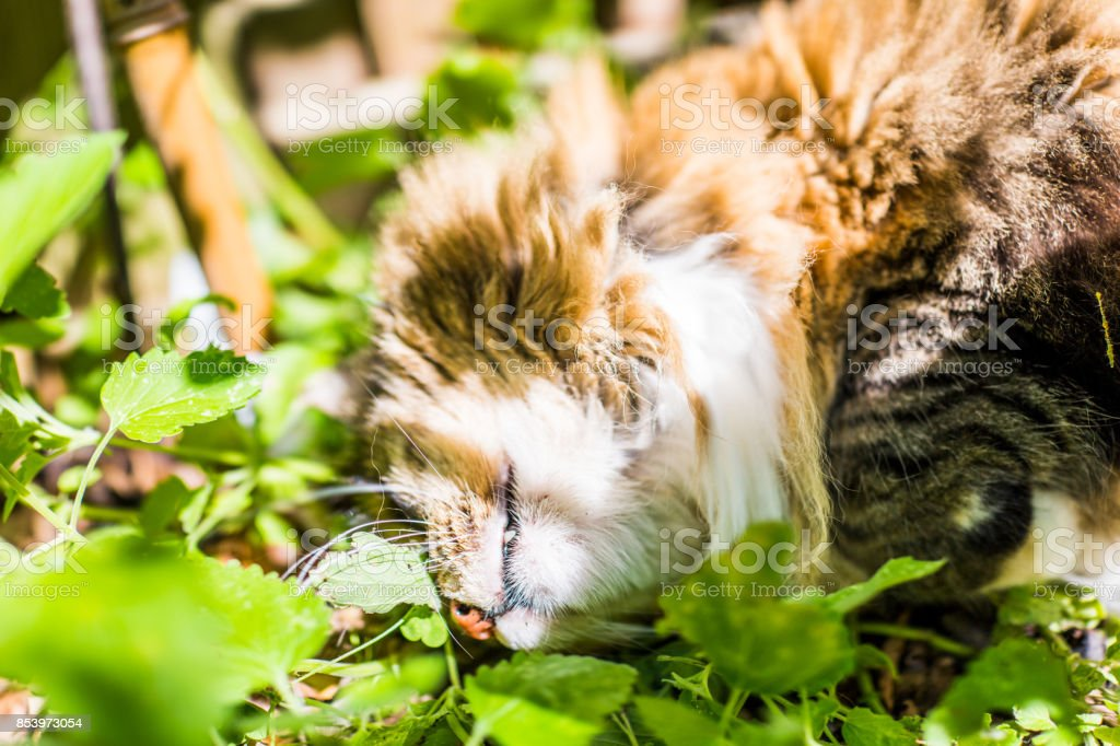 Closeup of calico maine coon cat lying in bed of catnip greens plant in outdoor home garden showing teeth stock photo