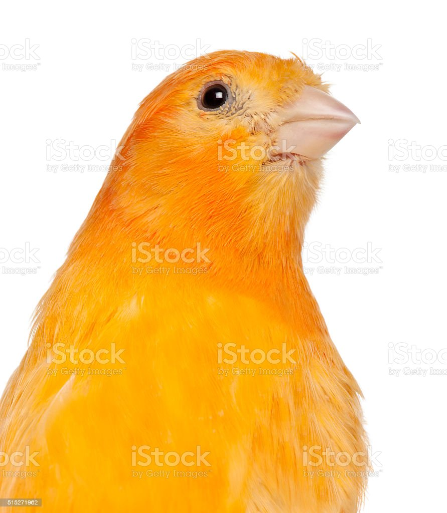 Close-up of Canary, Serinus canaria domestica, 2 years old, stock photo