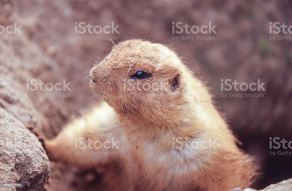 Close-up of Captive Prairie Dog an Burrow stock photo