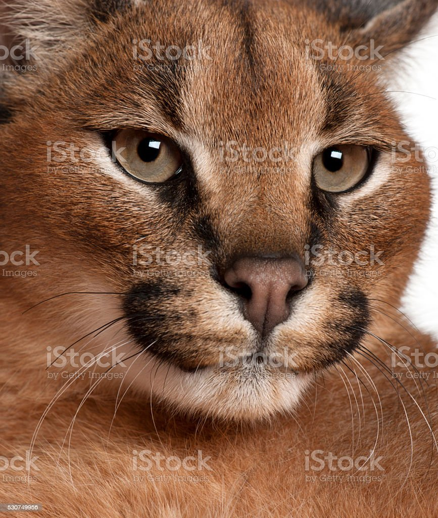 Close-up of Caracal, Caracal caracal, 6 months old, stock photo