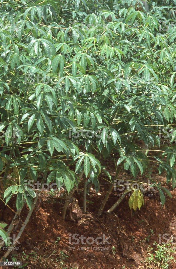 Closeup of Cassava plant rootcrop in local gardens near Siguatepeque Honduras Central America stock photo