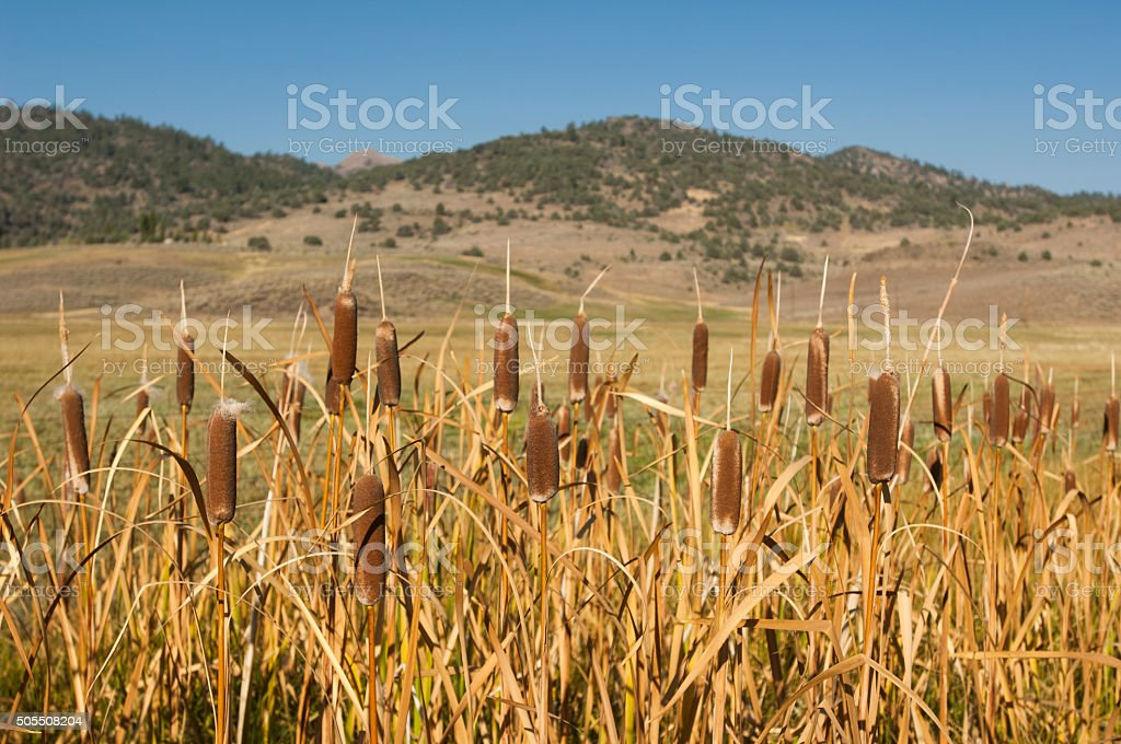 Close-up of Cat Tails and Fall Sierra Nevada stock photo
