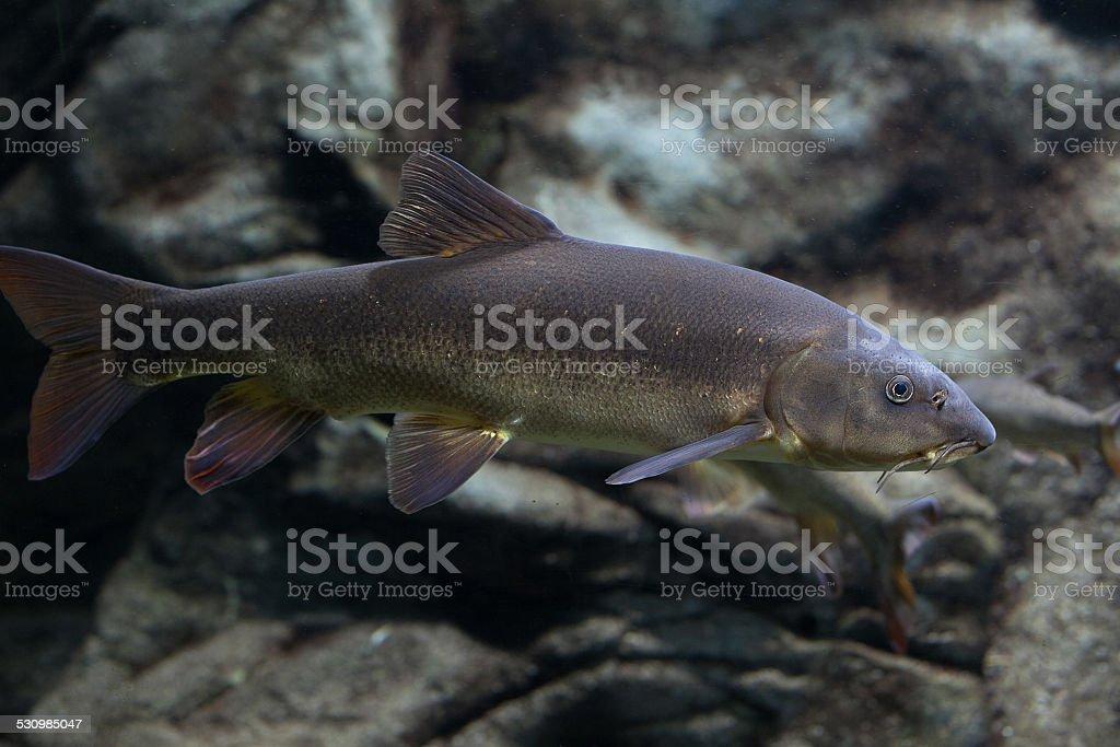 Closeup of catfish stock photo