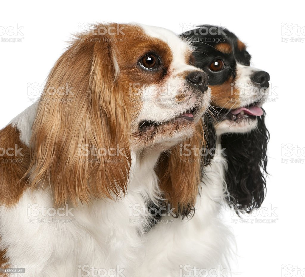 Close-up of Cavalier King Charles Spaniels stock photo