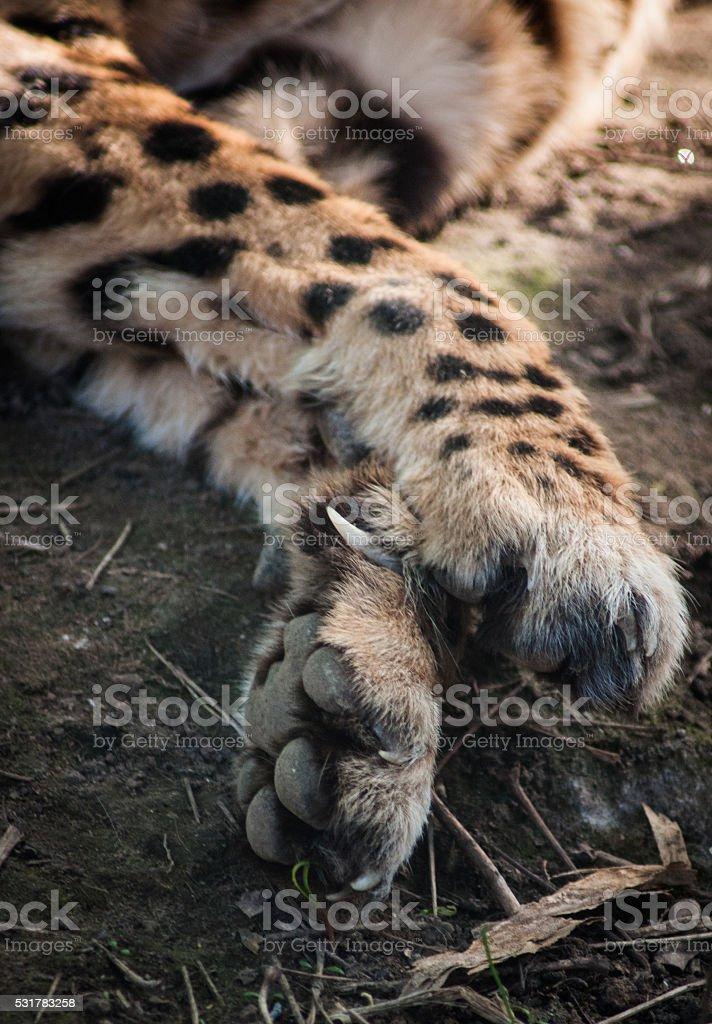 Gros plan de guépard pattes photo libre de droits