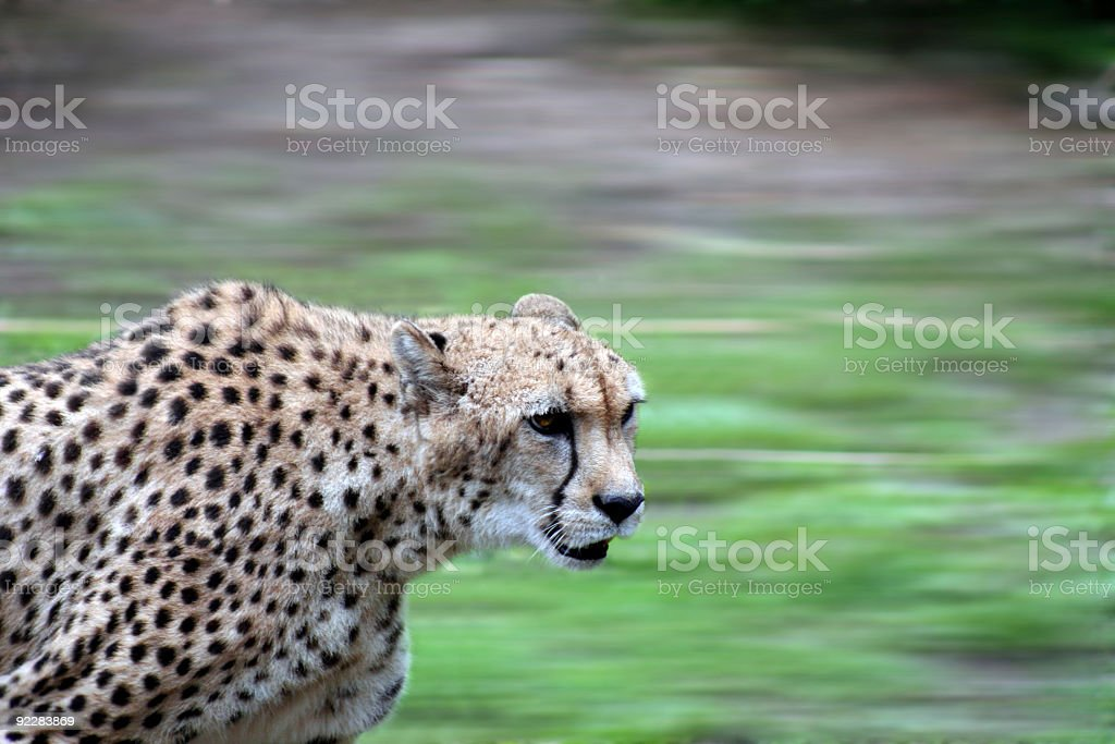 Close-up of cheetah running stock photo