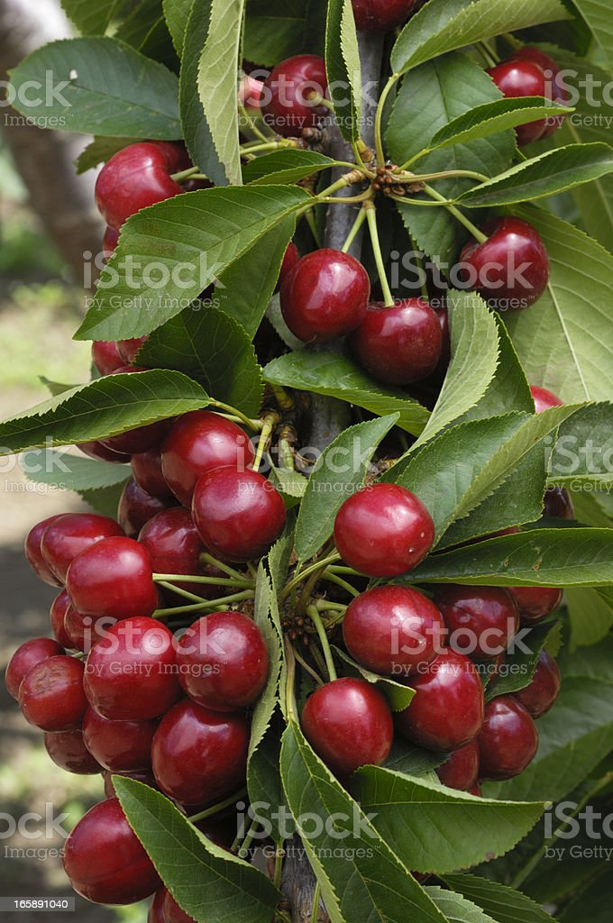 Close-up of cherries on a cherry tree stock photo