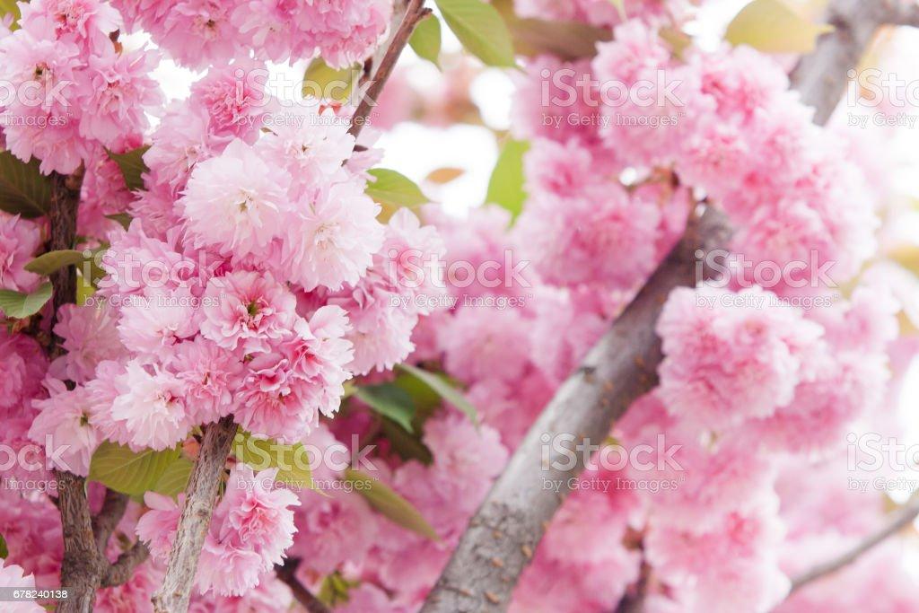 Closeup  of Cherry blossoms flower stock photo
