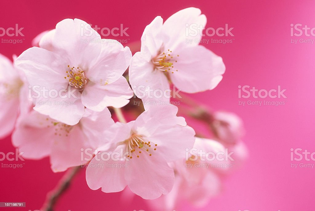 Close-up of cherry blossoms royalty-free stock photo