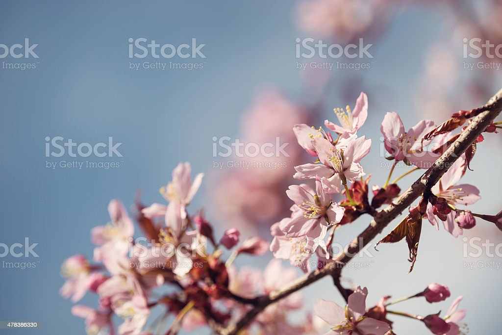 Closeup of cherry tree (prunus sargentii) blossoms in spring stock photo