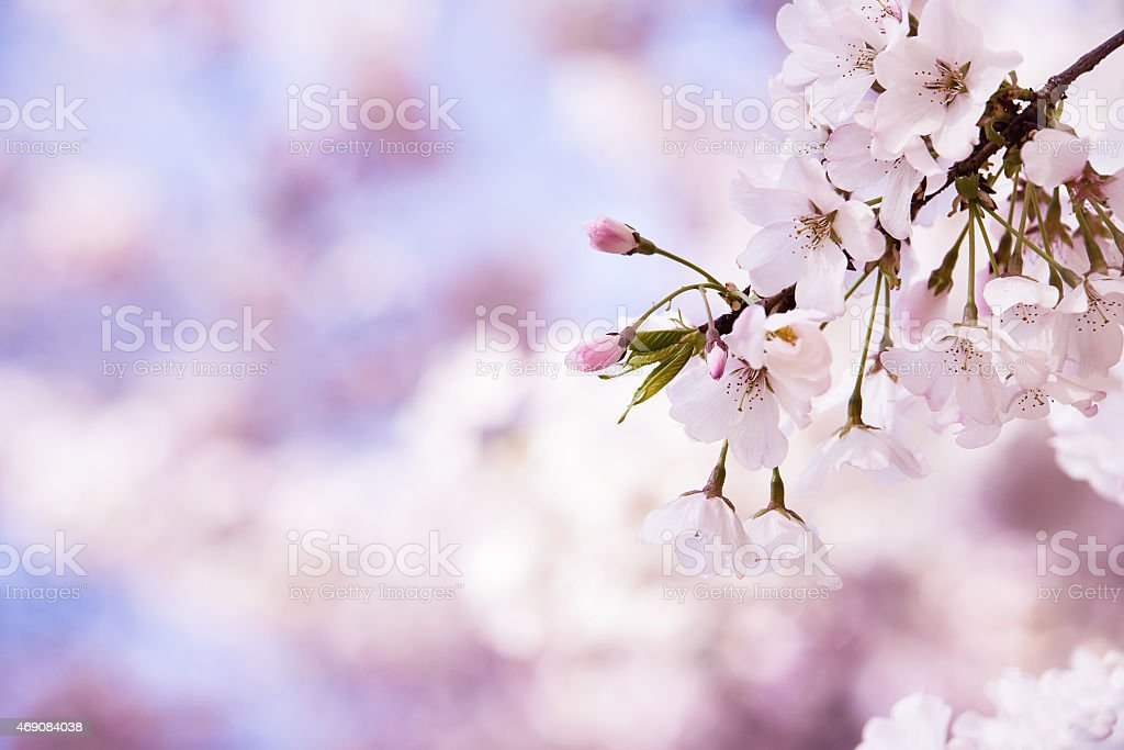 Closeup of cherry tree blossoms in the spring stock photo