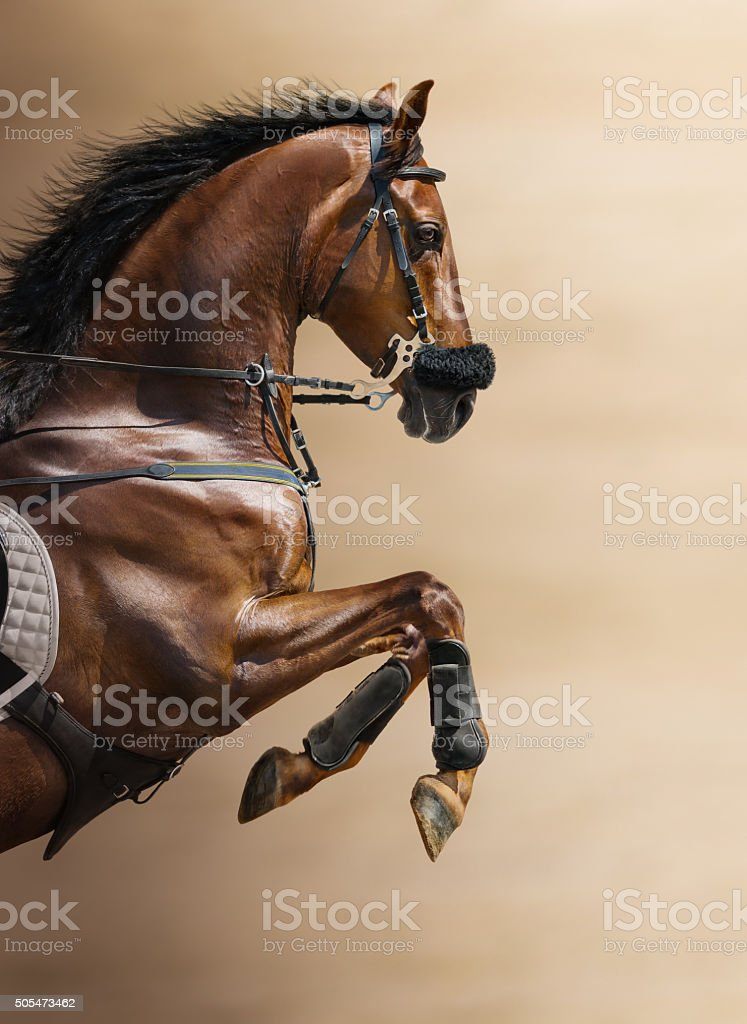 Close-up of chestnut jumping horse in a hackamore stock photo