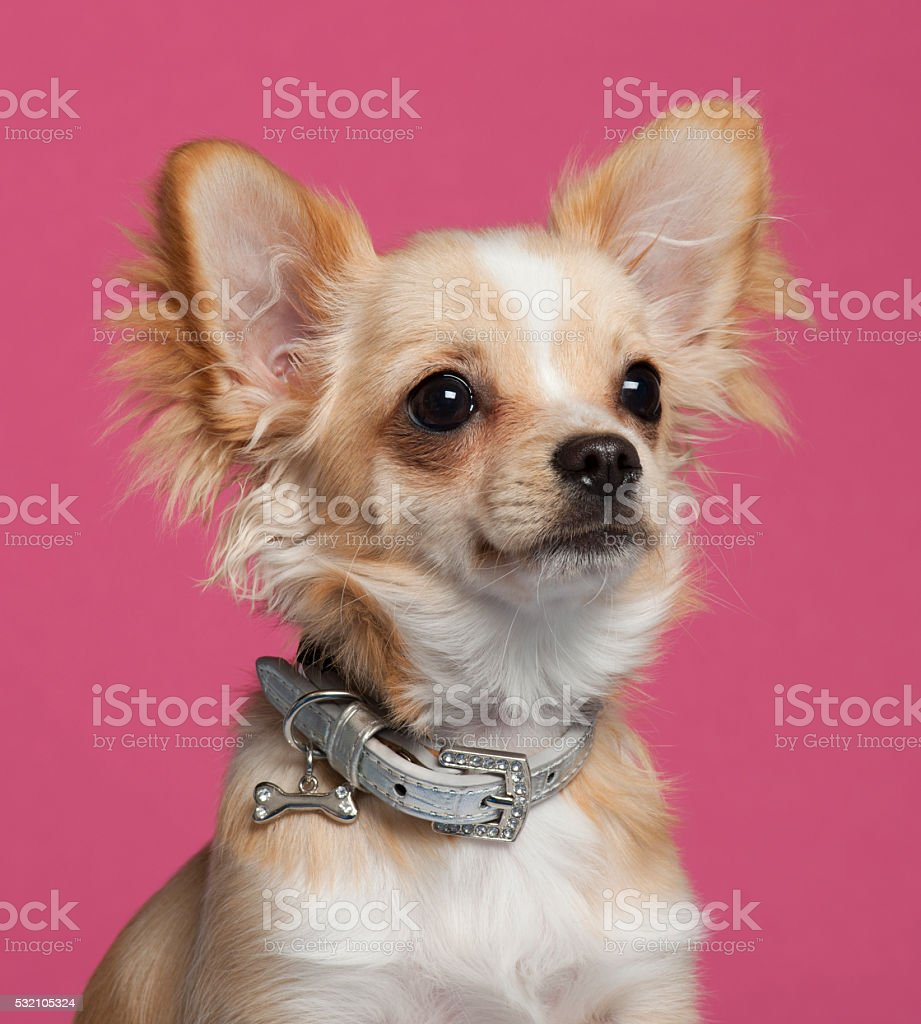 Close-up of Chihuahua in front of pink background stock photo