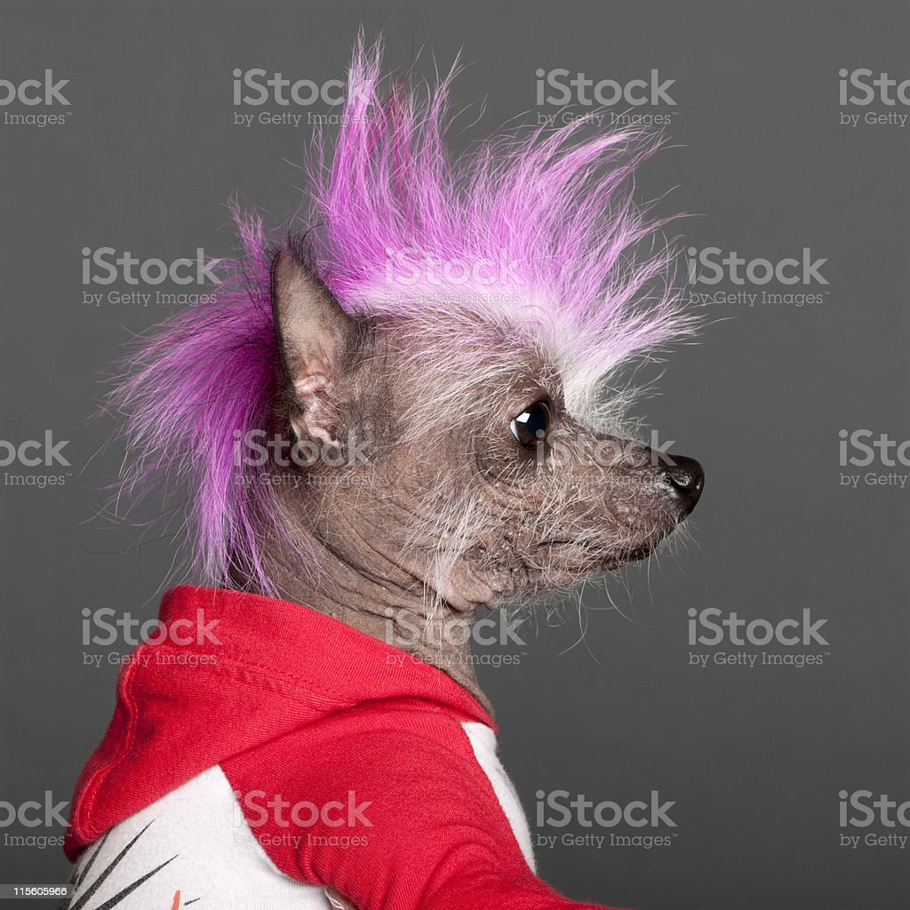 Close-up of Chinese Crested Dog with pink mohawk, grey background. stock photo
