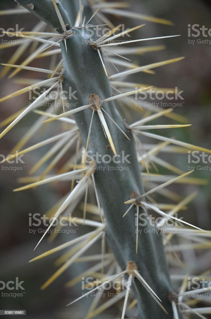 Close-up of Cholla Spines royalty-free stock photo