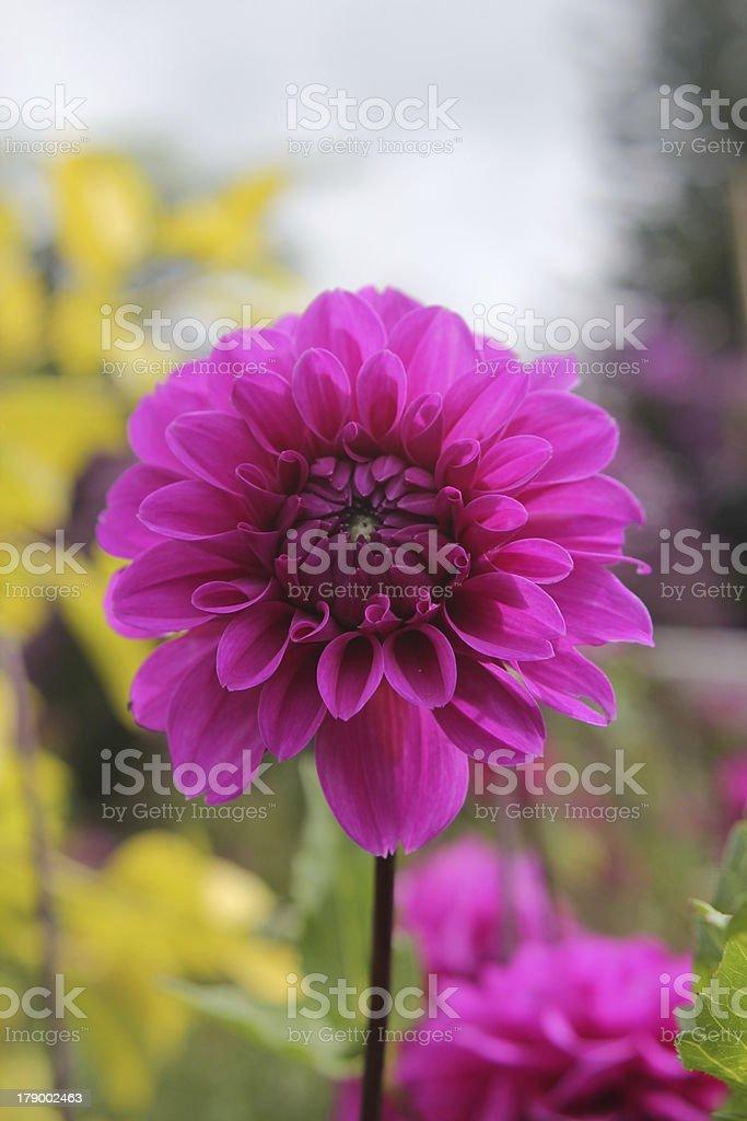 Close-up of Chrysanthemum royalty-free stock photo