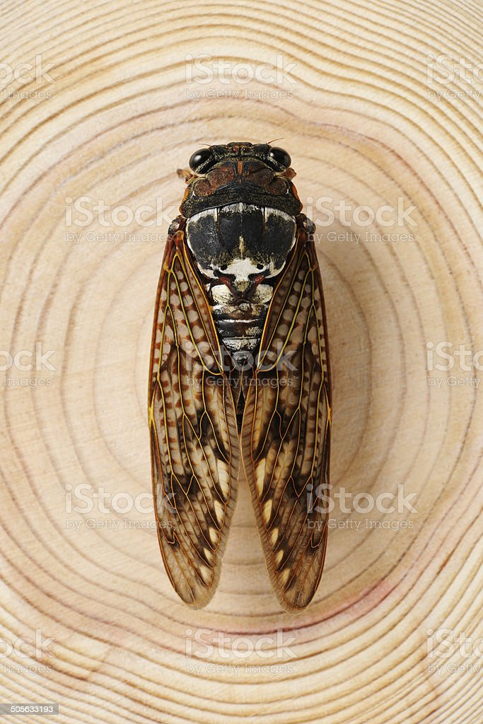 Close-up of Cicada on tree ring royalty-free stock photo