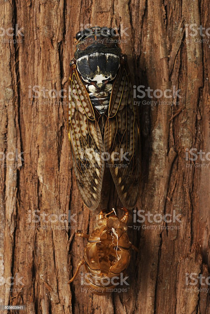 Close-up of Cicada's molting on tree royalty-free stock photo