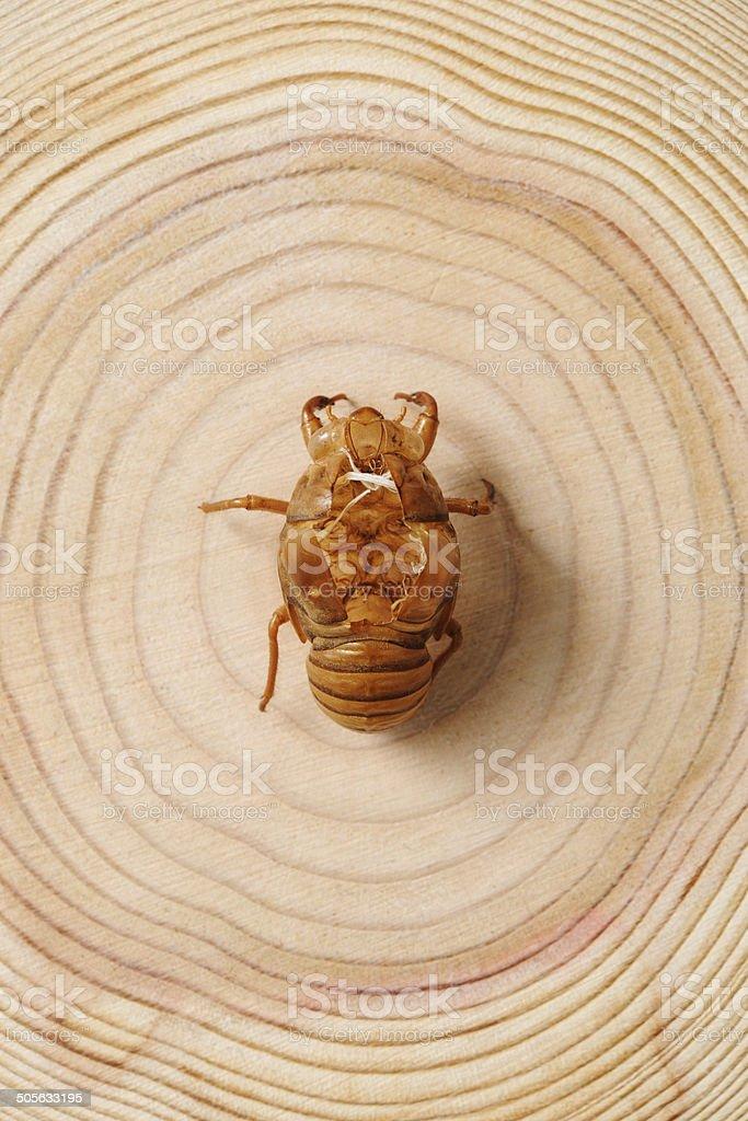Close-up of Cicada's shedding on tree ring royalty-free stock photo