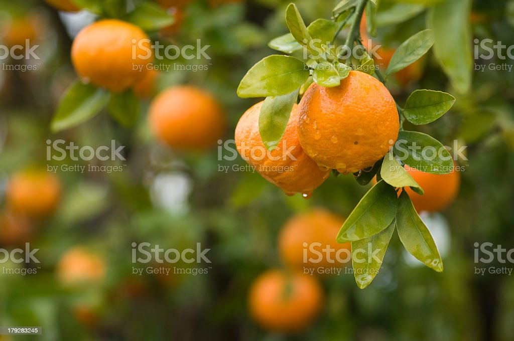 Close-up of clementines on a tree after rainfall royalty-free stock photo