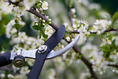 Close-up of clippers pruning flowering bushes