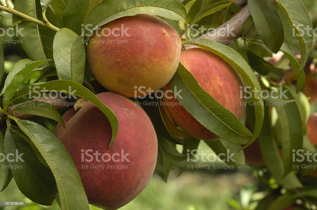 Closeup of cluster of fuzzy White Peaches on a tree. royalty-free stock photo