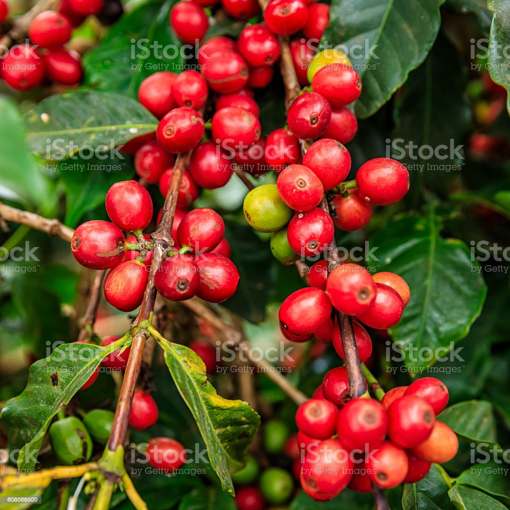 Close-up of coffee cherries on Kenyan plantation, East Africa stock photo