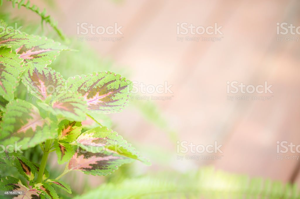 Close-up of Coleus plant leaves and fern. Garden. Copyspace. stock photo
