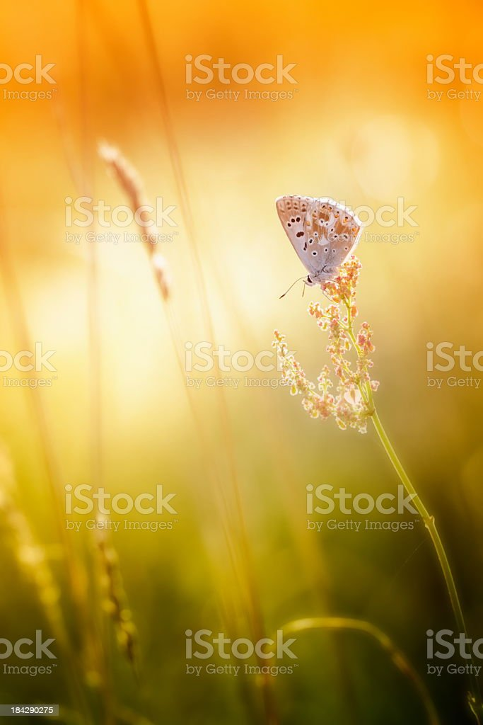 Close-up of colorful common blue butterfly on blurred field stock photo