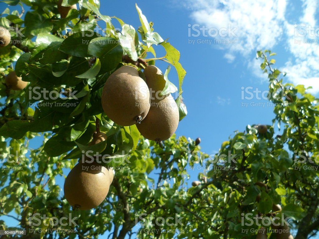 Close-up of comice pears in a Norfolk orchard stock photo