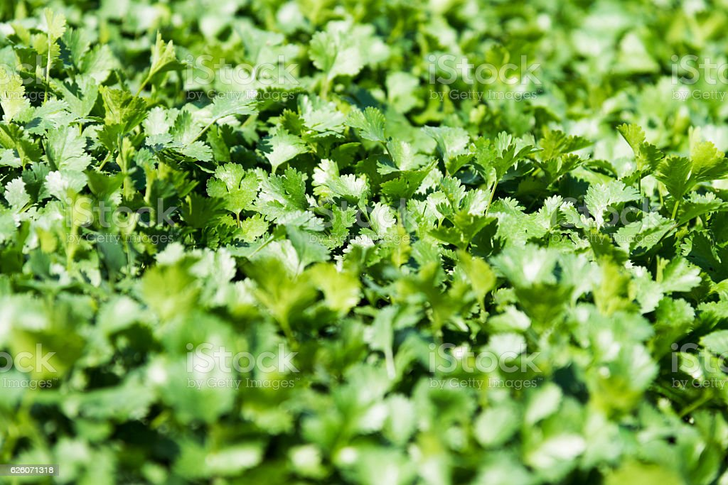 Close-up of coriander plant leaves in the farm stock photo