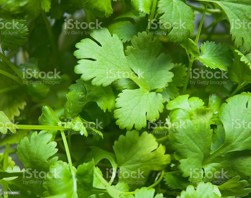 Close-up of coriander plant leaves stock photo