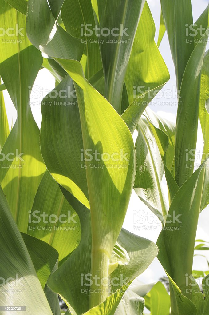 Close-up of Corn Stalk royalty-free stock photo