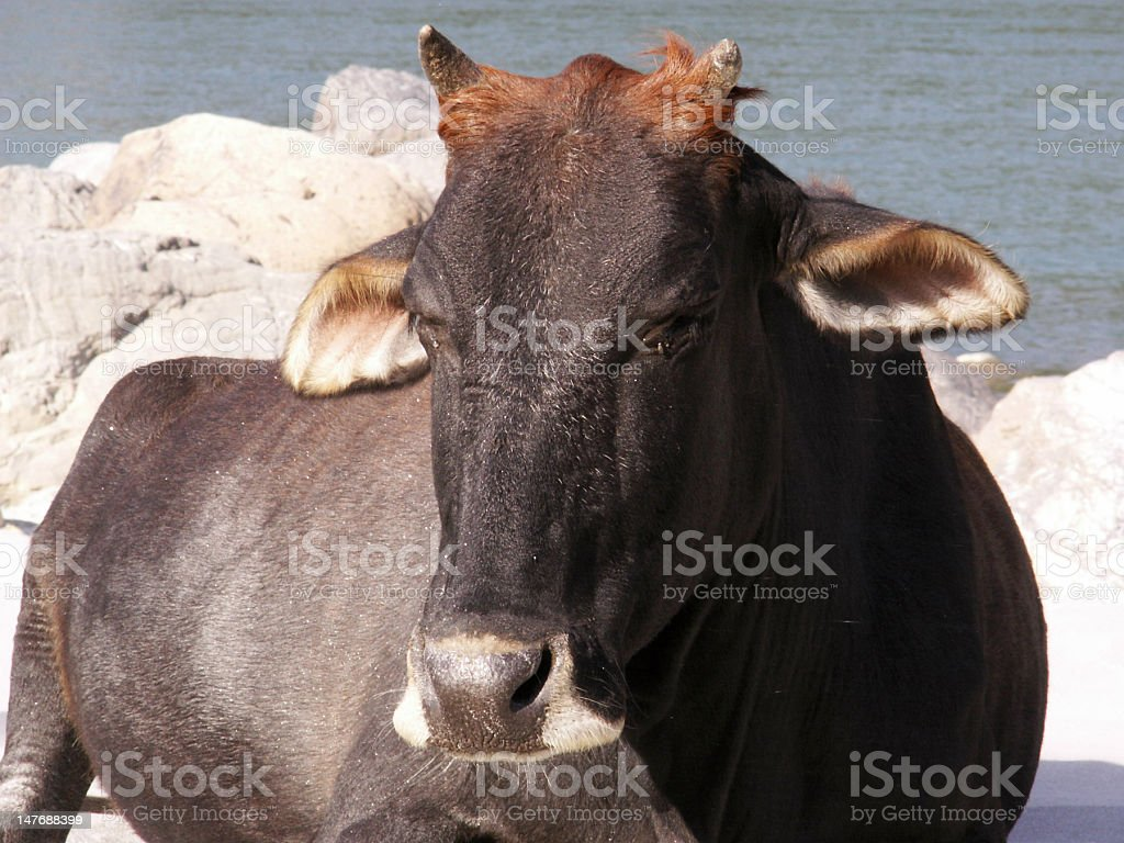 Close-up of Cow on Ganges Beach royalty-free stock photo