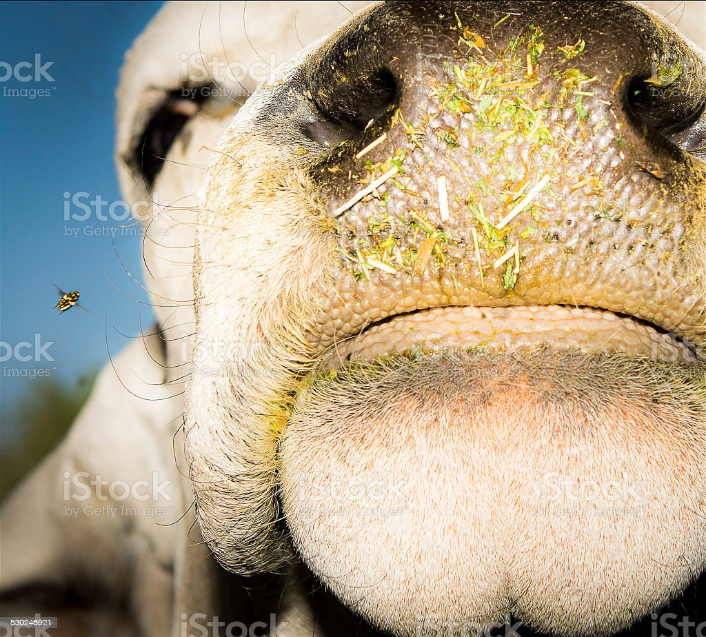 Closeup of Cow With Flying Insect stock photo