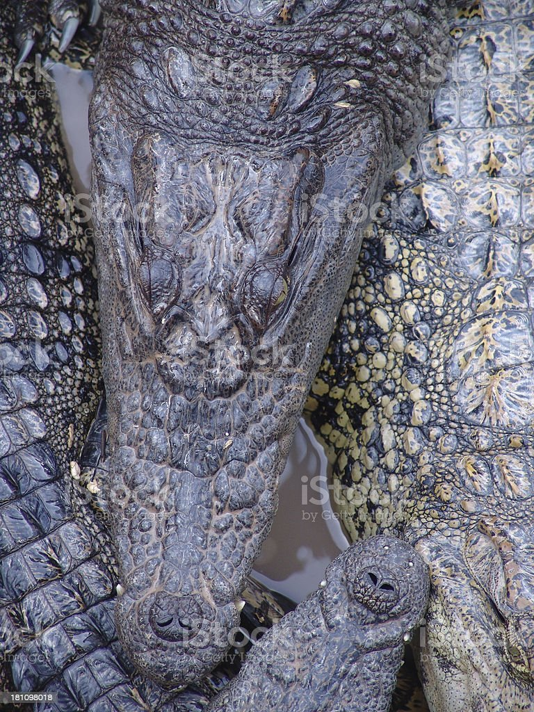 Close-Up of Crocodile Snouts royalty-free stock photo
