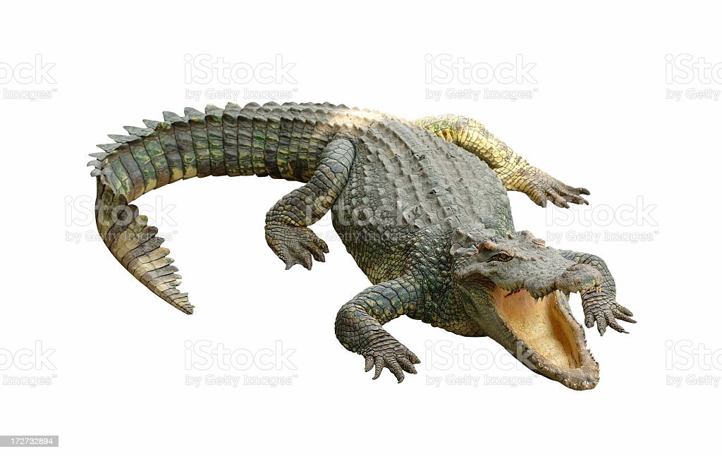 Close-up of crocodile with mouth open isolated on white stock photo