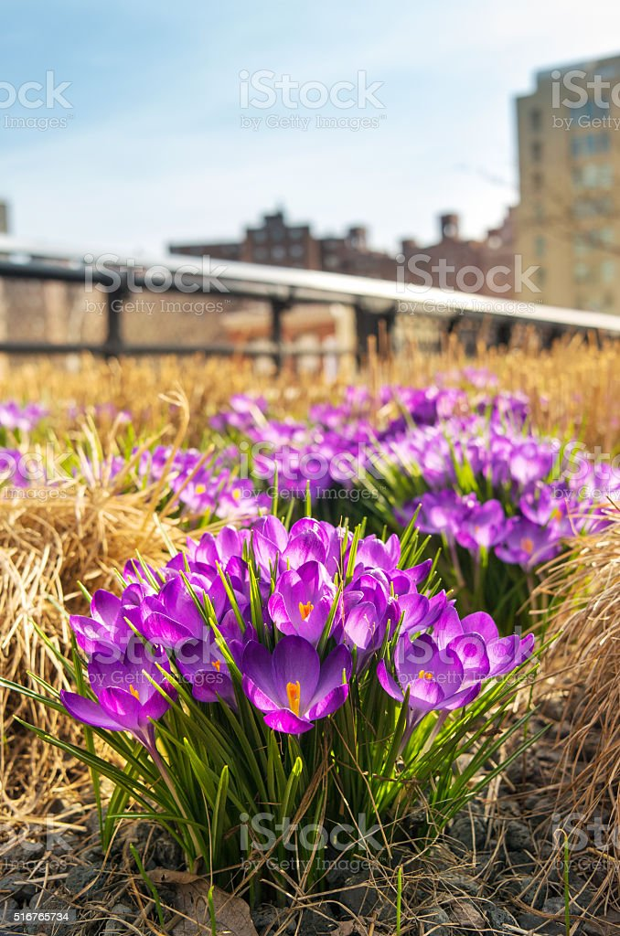 Close-up of crocus flower in spring stock photo