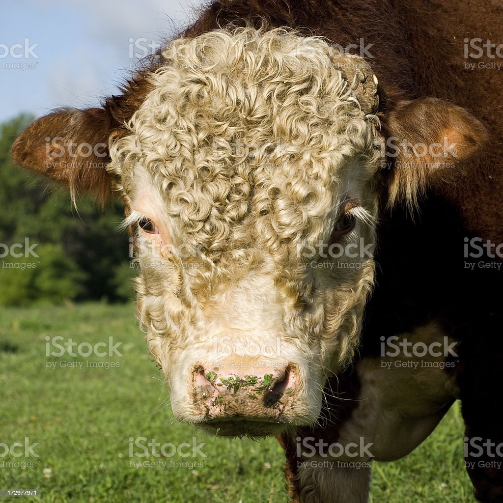 Close-Up of Curly Haired Hereford Bull royalty-free stock photo