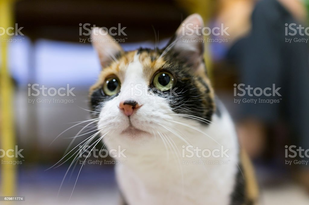 Closeup of cute calico cats face with dilated pupils stock photo