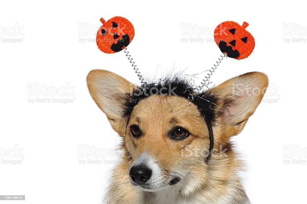 Closeup of cute dog wearing pumpkin headband looking down royalty-free stock photo