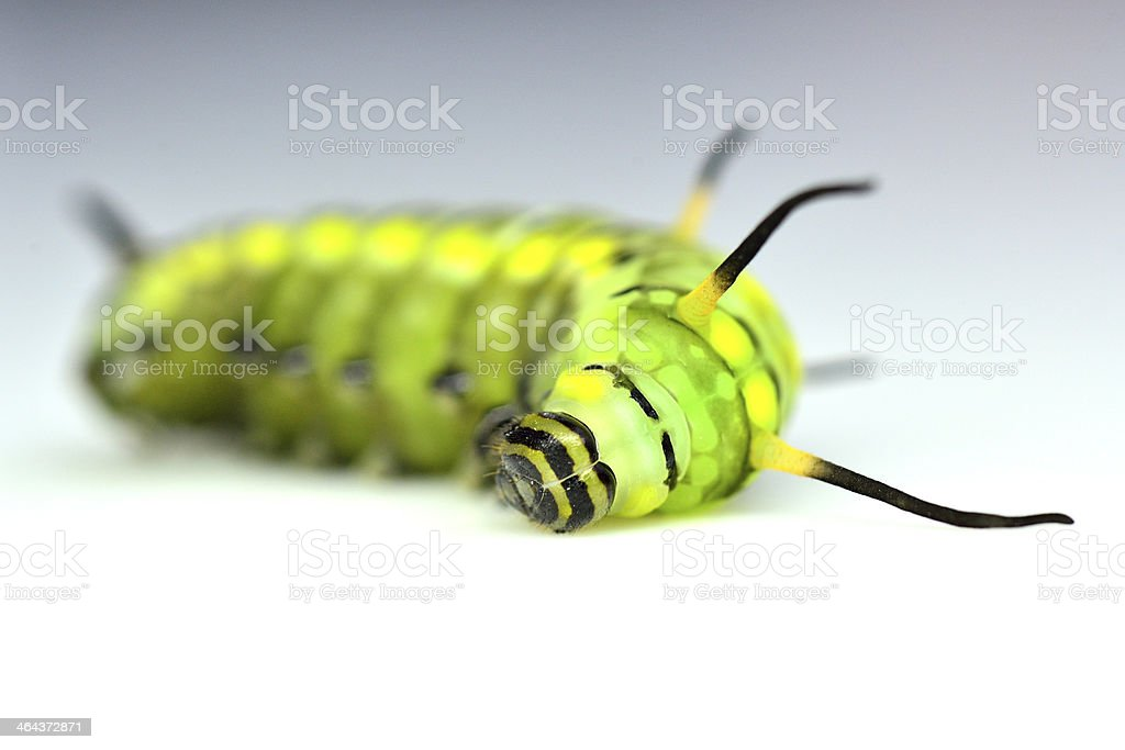 Closeup of cute green or butterfly worm sleeping stock photo