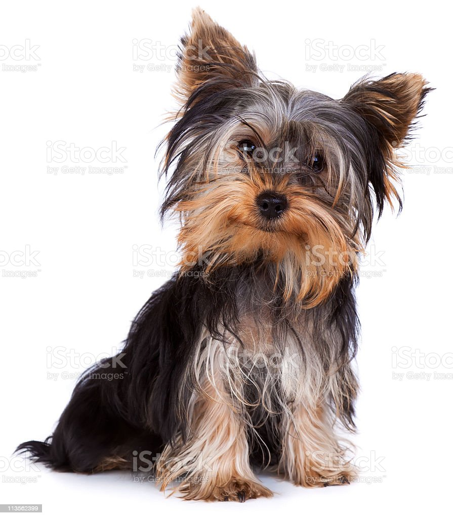 Close-up of cute Yorkshire Terrier with fluffy long hair stock photo