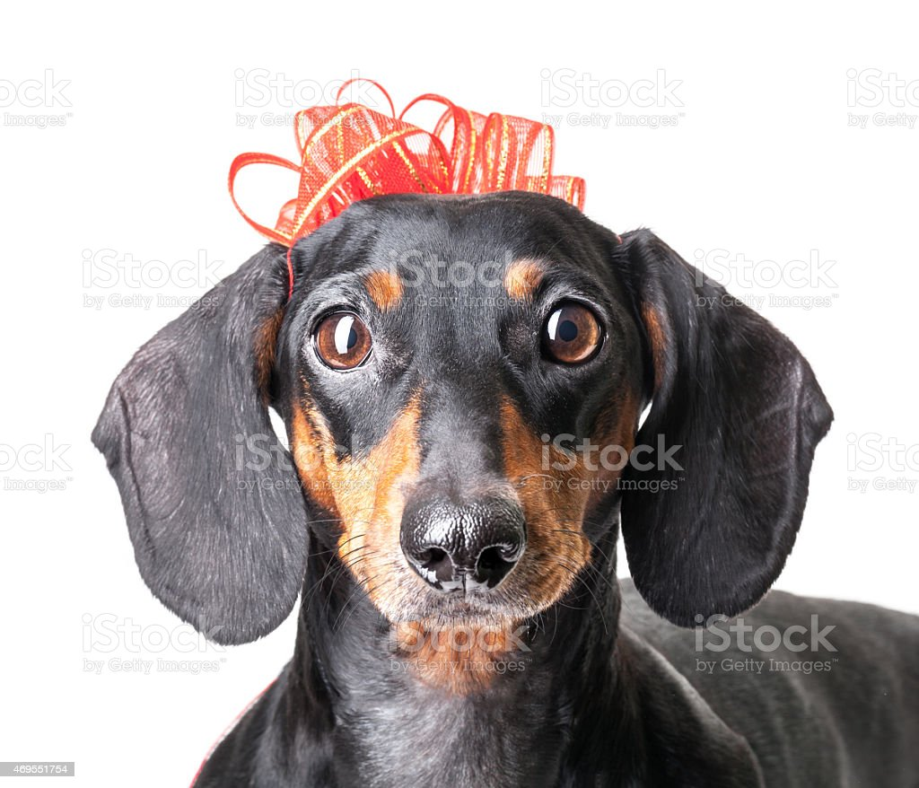 Close-up of Dachshund with red ribbon on white background stock photo