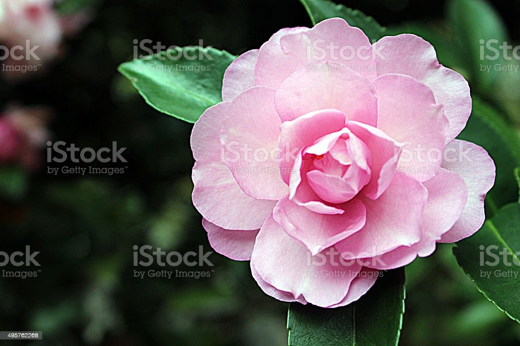 Close-up of Dainty Pink Camellia Flower stock photo