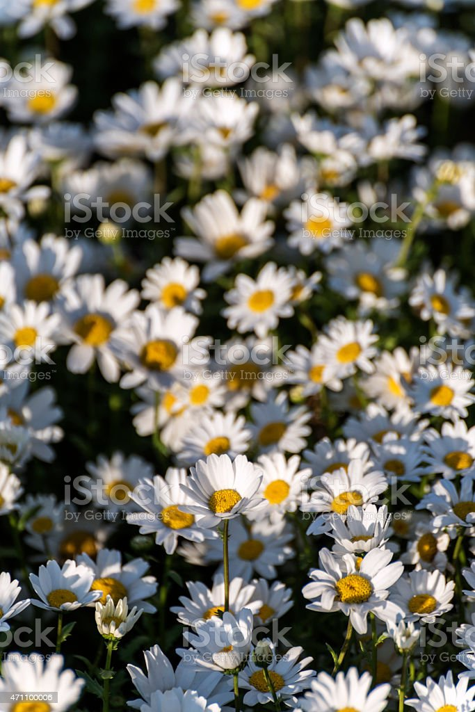 Close-up of Daisies in Garden stock photo