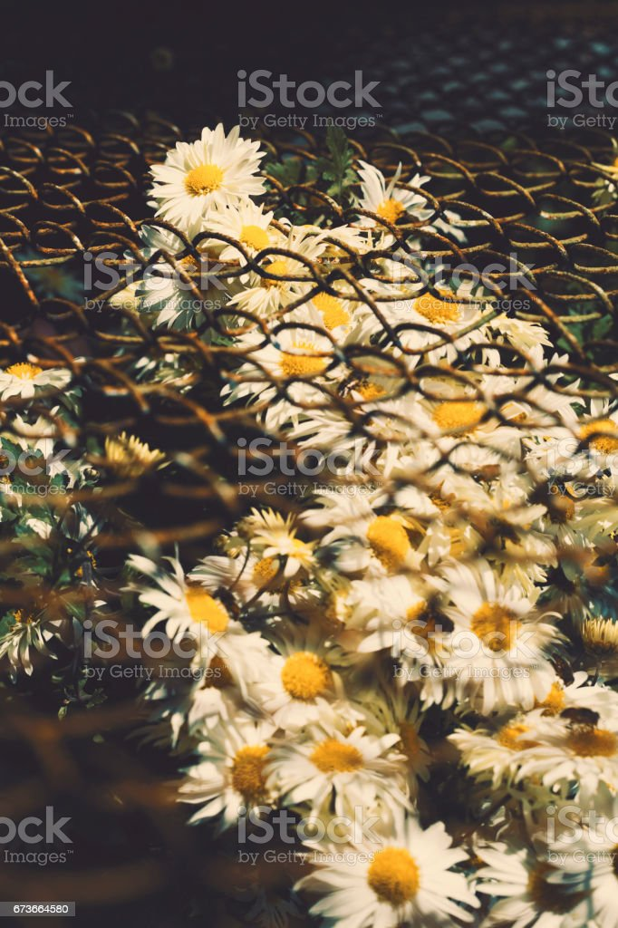 Close-up of daisy flowers stock photo