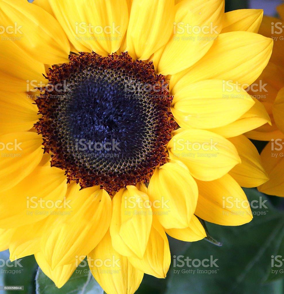 Close-up of daisy sunflower / comet sunflower / decorative sunflower stock photo