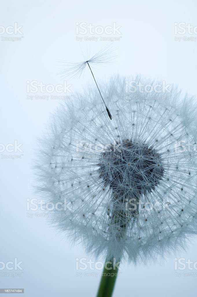 Close-up of dandelion clock with a single seed floating away royalty-free stock photo
